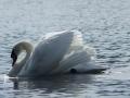 Swan on Pontiac Lake in Michigan